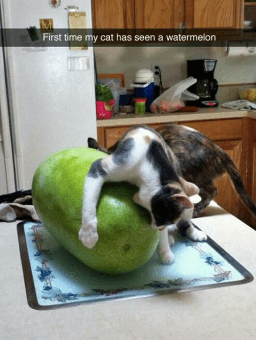 first time my cat has seen a watermelon cats meme on