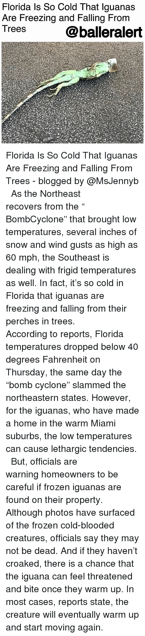 """Frozen, Memes, and Florida: Florida ls So Cold That lguanas  Are Freezing and Falling From  Trees  @balleralert Florida Is So Cold That Iguanas Are Freezing and Falling From Trees - blogged by @MsJennyb ⠀⠀⠀⠀⠀⠀⠀ ⠀⠀⠀⠀⠀⠀⠀ As the Northeast recovers from the """" BombCyclone"""" that brought low temperatures, several inches of snow and wind gusts as high as 60 mph, the Southeast is dealing with frigid temperatures as well. In fact, it's so cold in Florida that iguanas are freezing and falling from their perches in trees. ⠀⠀⠀⠀⠀⠀⠀ ⠀⠀⠀⠀⠀⠀⠀ According to reports, Florida temperatures dropped below 40 degrees Fahrenheit on Thursday, the same day the """"bomb cyclone"""" slammed the northeastern states. However, for the iguanas, who have made a home in the warm Miami suburbs, the low temperatures can cause lethargic tendencies. ⠀⠀⠀⠀⠀⠀⠀ ⠀⠀⠀⠀⠀⠀⠀ But, officials are warning homeowners to be careful if frozen iguanas are found on their property. Although photos have surfaced of the frozen cold-blooded creatures, officials say they may not be dead. And if they haven't croaked, there is a chance that the iguana can feel threatened and bite once they warm up. In most cases, reports state, the creature will eventually warm up and start moving again."""