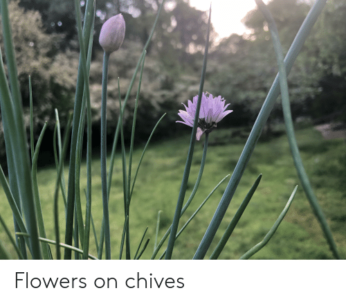 Flowers and Chives: Flowers on chives