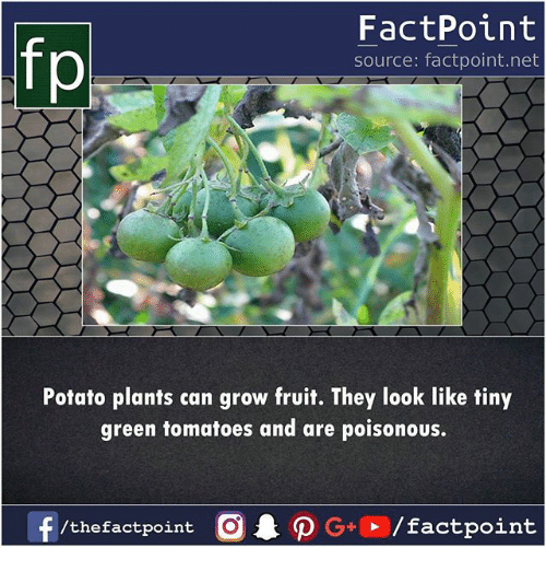 Memes, Potato, and 🤖: fo  FactPoint  source: factpoint.net  Potato plants can grow fruit. They look like tiny  green tomatoes and are poisonous.
