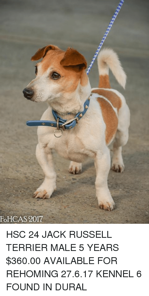 fohcas 2017 hsc 24 jack russell terrier male 5 years 23054177 fohcas 2017 hsc 24 jack russell terrier male 5 years $36000