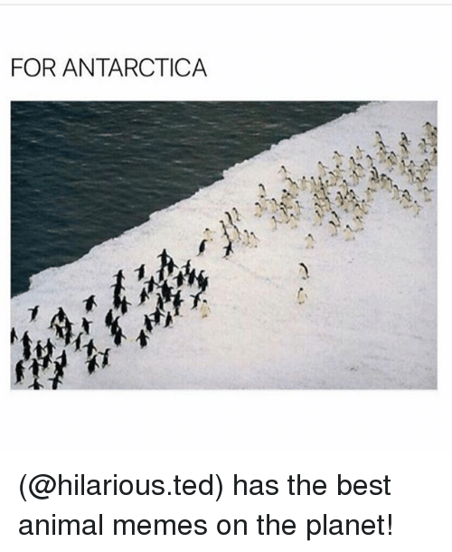 Funny, Meme, and Memes: FOR ANTARCTICA (@hilarious.ted) has the best animal memes on the planet!