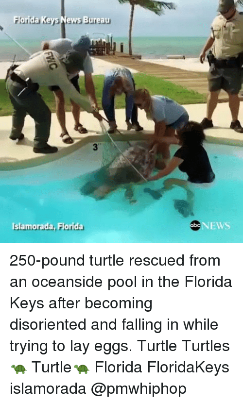 Memes, News, and Florida: For  Ke  News Bureau  Islamorada  orida  NEWS 250-pound turtle rescued from an oceanside pool in the Florida Keys after becoming disoriented and falling in while trying to lay eggs. Turtle Turtles 🐢 Turtle🐢 Florida FloridaKeys islamorada @pmwhiphop