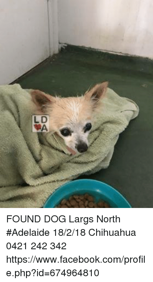 Chihuahua Facebook And Memes Found Dog Largs North Adelaide 18 2