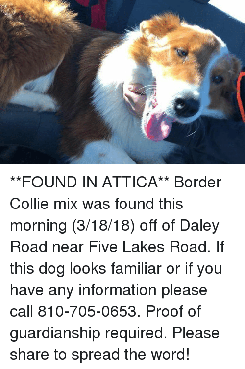 Memes, Border Collie, and Information: **FOUND IN ATTICA**  Border Collie mix was found this morning (3/18/18) off of Daley Road near Five Lakes Road.  If this dog looks familiar or if you have any information please call 810-705-0653.  Proof of guardianship required.  Please share to spread the word!