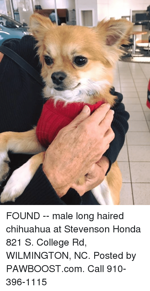 Chihuahua, College, And Honda: FOUND    Male Long Haired Chihuahua At  Stevenson