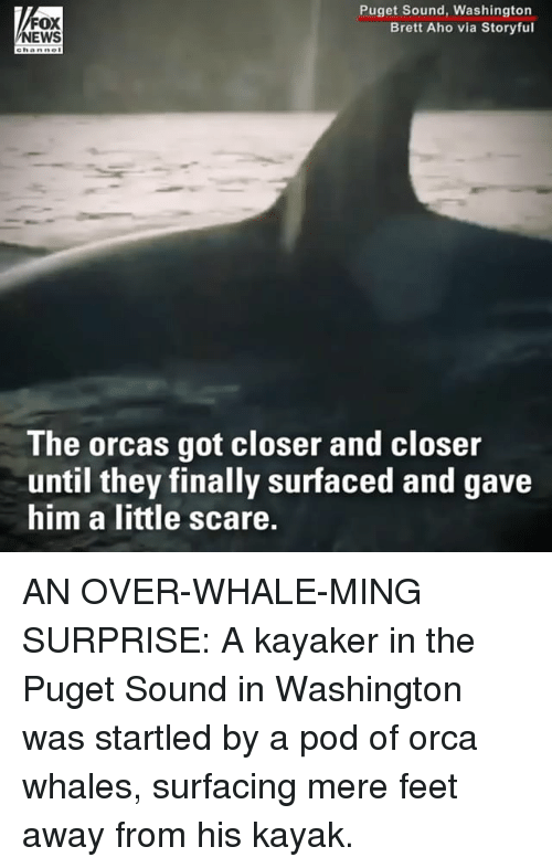 Memes, Orcas, and Scare: FOX  EWS  Puget Sound, Washington  Brett Aho via Storyful  ehanne  The orcas got closer and closer  until they finally surfaced and gave  him a little scare. AN OVER-WHALE-MING SURPRISE: A kayaker in the Puget Sound in Washington was startled by a pod of orca whales, surfacing mere feet away from his kayak.