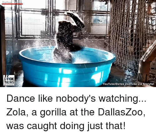 Memes, News, and Zola: FOX  NEWS  YouTubelDallas ZooTube via Storyful Dance like nobody's watching... Zola, a gorilla at the DallasZoo, was caught doing just that!