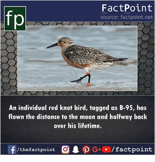 Memes, Lifetime, and Moon: fp  FactPoint  source: factpoint.net  An individual red knot bird, tagged as B-95, has  flown the distance to the moon and halfway back  over his lifetime.  f  /thefactpoint C  AO G+ /factpoint