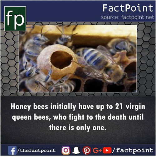 Memes, Virgin, and Queen: fp  FactPoint  source: factpoint.net  Honey bees initially have up to 21 virgin  queen bees, who fight to the death until  there is only one.  /the factpoint  0 . ρ G+®/factpoint