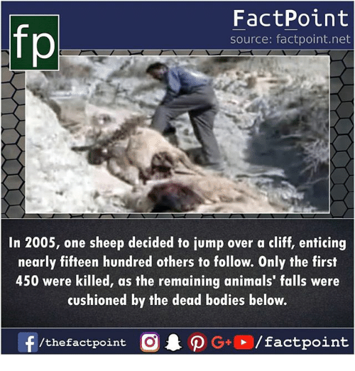 Animals, Bodies , and Memes: fp  FactPoint  source: factpoint.net  In 2005, one sheep decided to jump over a cliff, enticing  nearly fifteen hundred others to follow. Only the first  450 were killed, as the remaining animals' falls were  cushioned by the dead bodies below.