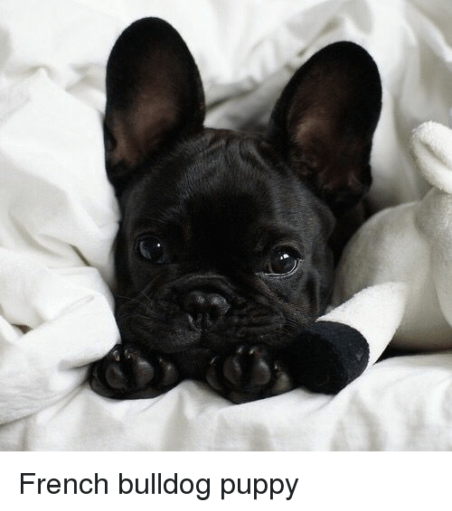 French Bulldog Puppy Bulldog Meme On Meme