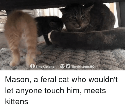 Kittens, Cat, and Who: fTinyKittens TinykittensHQ Mason, a feral cat who wouldn't let anyone touch him, meets kittens