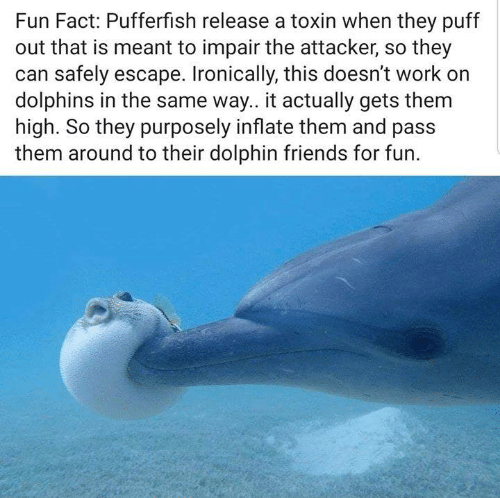 Friends, Funny, and Tumblr: Fun Fact: Pufferfish release a toxin when they puff  out that is meant to impair the attacker, so they  can safely escape. Ironically, this doesn't work orn  dolphins in the same way.. it actually gets them  high. So they purposely inflate them and pass  them around to their dolphin friends for fun.