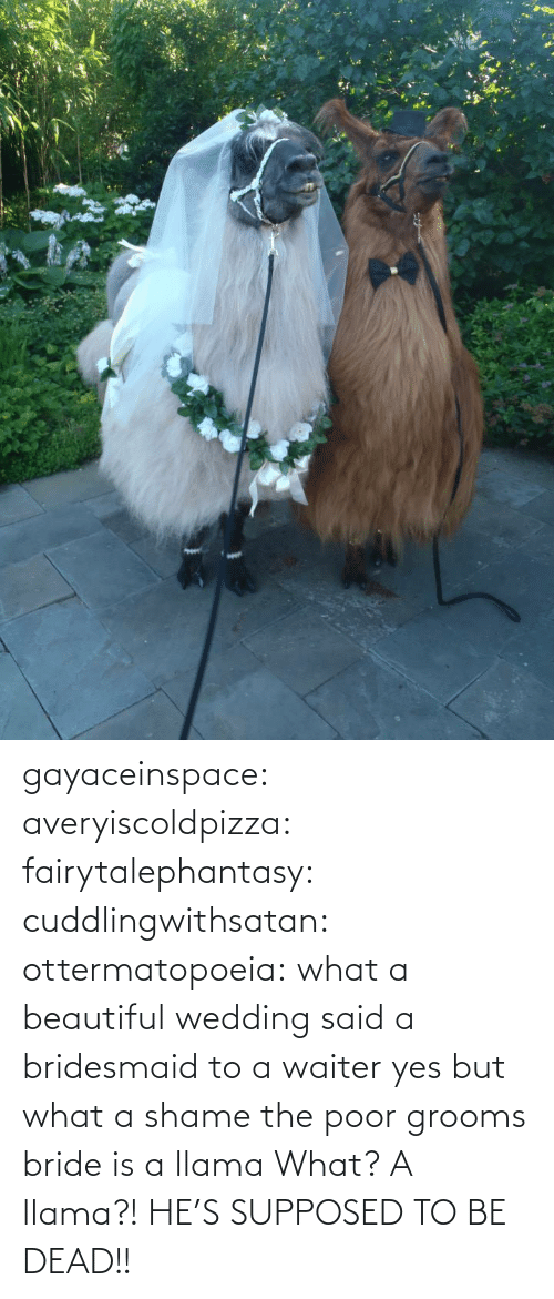 Beautiful, Tumblr, and Blog: gayaceinspace: averyiscoldpizza:  fairytalephantasy:  cuddlingwithsatan:  ottermatopoeia:  what a beautiful wedding  said a bridesmaid to a waiter  yes but what a shame  the poor grooms bride is a llama  What? A llama?! HE'S SUPPOSED TO BE DEAD!!