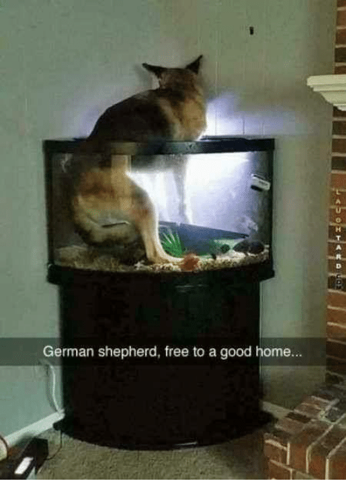 Memes  Free  and German Shepherd  German shepherd  free to a good home. 25  Best Memes About Free to a Good Home   Free to a Good Home