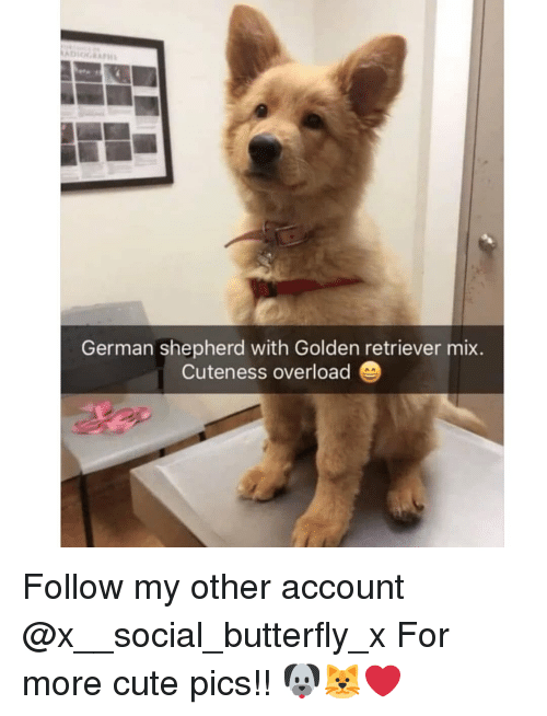 Cute, Memes, and Butterfly: German shepherd with Golden retriever mix  Cuteness overload Follow my other account @x__social_butterfly_x For more cute pics!! 🐶🐱❤