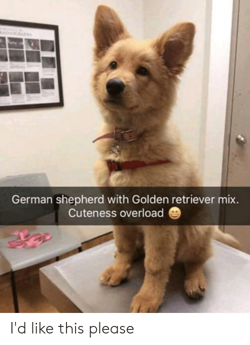 Dank, German Shepherd, and Golden Retriever: German shepherd with Golden retriever mix.  Cuteness overload I'd like this please