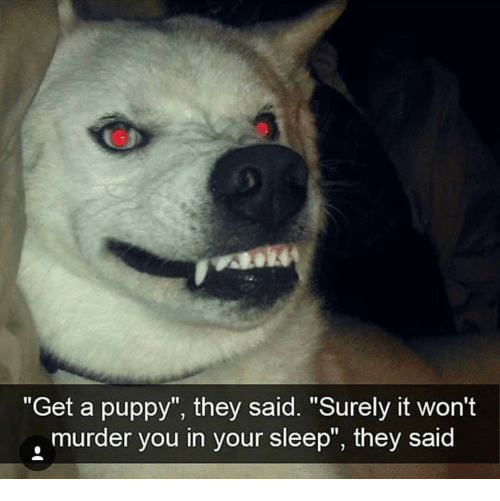 """Memes, Puppy, and Sleep: """"Get a puppy"""", they said. """"Surely it won't  murder you in your sleep"""", they said"""