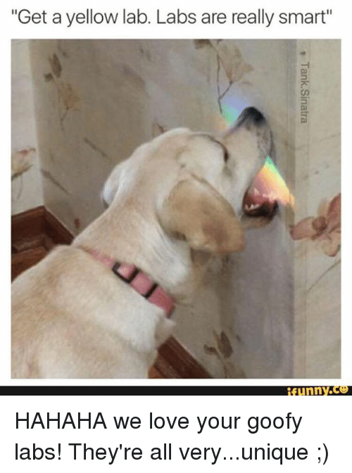 get a yellow lab labs are really smart funny hahaha 15002542 - Free funny yellow lab photos