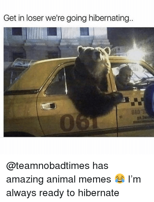 Funny, Memes, and Animal: Get in loser we're going hibernating.  DA0T @teamnobadtimes has amazing animal memes 😂 I'm always ready to hibernate