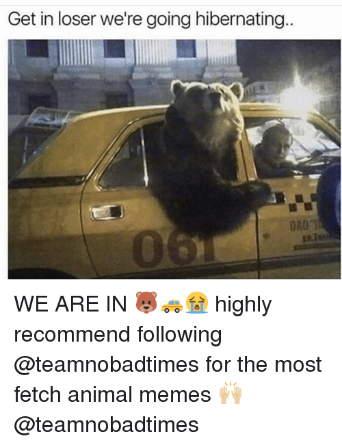 Memes, Animal, and Ord: Get in loser we're going hibernating.  ORD WE ARE IN 🐻🚕😭 highly recommend following @teamnobadtimes for the most fetch animal memes 🙌🏼 @teamnobadtimes
