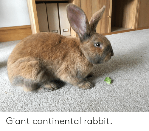 Giant, Rabbit, and Continental: Giant continental rabbit.