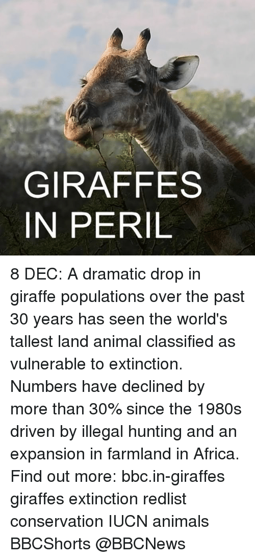Africa, Memes, and Hunting: GIRAFFES  IN PERIL 8 DEC: A dramatic drop in giraffe populations over the past 30 years has seen the world's tallest land animal classified as vulnerable to extinction. Numbers have declined by more than 30% since the 1980s driven by illegal hunting and an expansion in farmland in Africa. Find out more: bbc.in-giraffes giraffes extinction redlist conservation IUCN animals BBCShorts @BBCNews
