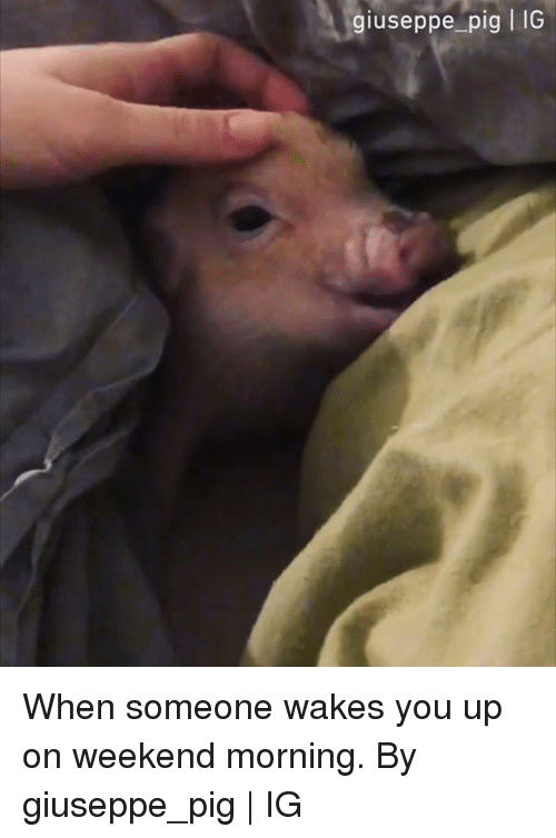 Dank, 🤖, and Pig: giuseppe pig | IG When someone wakes you up on weekend morning.  By giuseppe_pig | IG