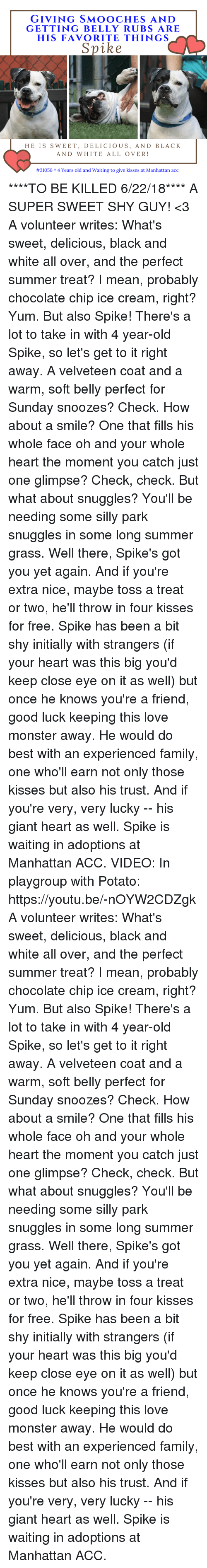 Family, Love, and Memes: GIVING SMOOCHES AND  GETTING BELLY RUBS ARE  HIS FAVORITE THINGS  HE IS SWEET, DELICIOUS, AND BLACK  AND WHITE ALL OVER!  #31056 * 4 Years old and waiting to give kisses at Manhattan acc ****TO BE KILLED 6/22/18****  A SUPER SWEET SHY GUY! <3  A volunteer writes: What's sweet, delicious, black and white all over, and the perfect summer treat? I mean, probably chocolate chip ice cream, right? Yum. But also Spike! There's a lot to take in with 4 year-old Spike, so let's get to it right away. A velveteen coat and a warm, soft belly perfect for Sunday snoozes? Check. How about a smile? One that fills his whole face oh and your whole heart the moment you catch just one glimpse? Check, check. But what about snuggles? You'll be needing some silly park snuggles in some long summer grass. Well there, Spike's got you yet again. And if you're extra nice, maybe toss a treat or two, he'll throw in four kisses for free. Spike has been a bit shy initially with strangers (if your heart was this big you'd keep close eye on it as well) but once he knows you're a friend, good luck keeping this love monster away. He would do best with an experienced family, one who'll earn not only those kisses but also his trust. And if you're very, very lucky -- his giant heart as well. Spike is waiting in adoptions at Manhattan ACC.  VIDEO:  In playgroup with Potato: https://youtu.be/-nOYW2CDZgk  A volunteer writes: What's sweet, delicious, black and white all over, and the perfect summer treat? I mean, probably chocolate chip ice cream, right? Yum. But also Spike! There's a lot to take in with 4 year-old Spike, so let's get to it right away. A velveteen coat and a warm, soft belly perfect for Sunday snoozes? Check. How about a smile? One that fills his whole face oh and your whole heart the moment you catch just one glimpse? Check, check. But what about snuggles? You'll be needing some silly park snuggles in some long summer grass. Well there, Spike's got you yet again. And