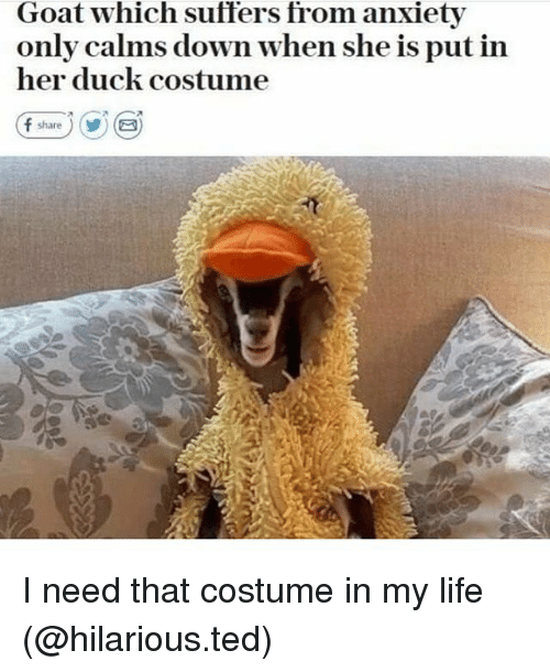 Funny, Life, and Ted: Goat which suffers from anxiety  only calms down when she is put in  her duck costume I need that costume in my life (@hilarious.ted)