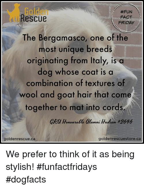 Friday, Memes, and Gru: Golden  Rescue  #FUN  FACT  FRIDAY  eut Second  The Bergamasco, one of the  most unique breeds  originating from Italy, is a  dog whose coat is a  combination of textures of  wool and goat hair that come  together to mat into cords  GRU Honouralle alumni Hudon #2646  goldenrescue.ca  goldenrescuestore.ca We prefer to think of it as being stylish! #funfactfridays #dogfacts