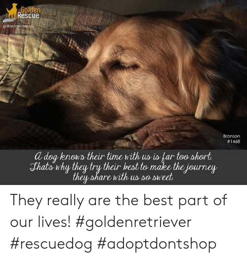 Golden Rescue Goldenrescueca Bronson #1468 a Dog Known Their Time