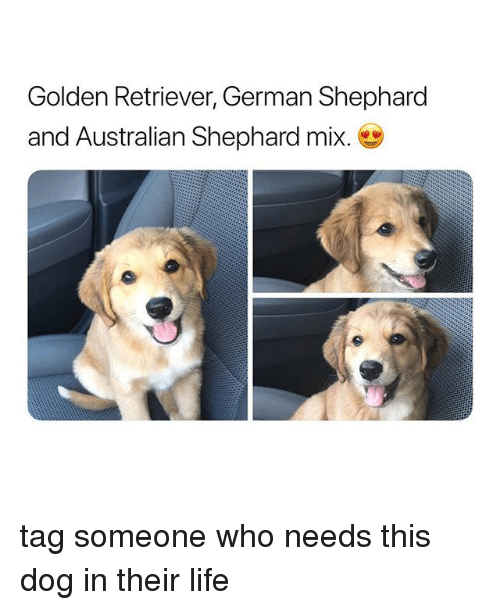 Life, Golden Retriever, and Tag Someone: Golden Retriever, German Shephard  and Australian Shephard mix. tag someone who needs this dog in their life