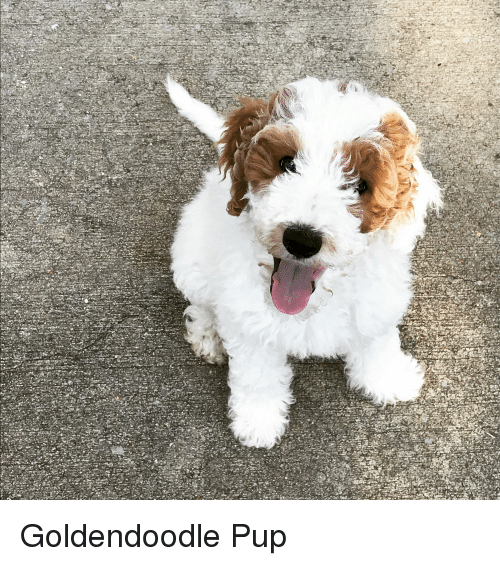 Goldendoodle Pup | Dogs Meme on ME ME