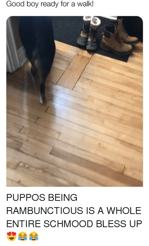 Bless Up, Memes, and Good: Good boy ready for a walk! PUPPOS BEING RAMBUNCTIOUS IS A WHOLE ENTIRE SCHMOOD BLESS UP 😍😂😂