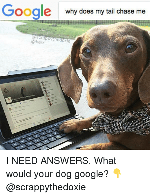 Google, Memes, and Chase: Google  why does my tail chase me  oscrappythedoxie  @bark I NEED ANSWERS. What would your dog google? 👇 @scrappythedoxie