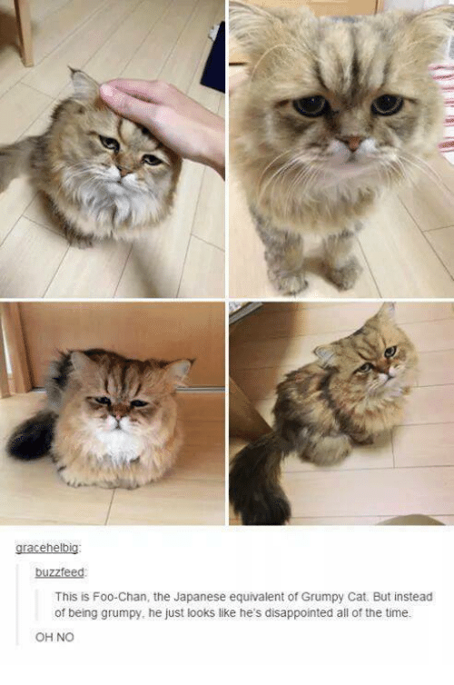 Cats, Dank, and Disappointed: gracehelbig:  buzzfeed  This is Foo Chan, the Japanese equivalent of Grumpy Cat. But instead  of being grumpy, he just looks like he's disappointed all of the time.  OH NO