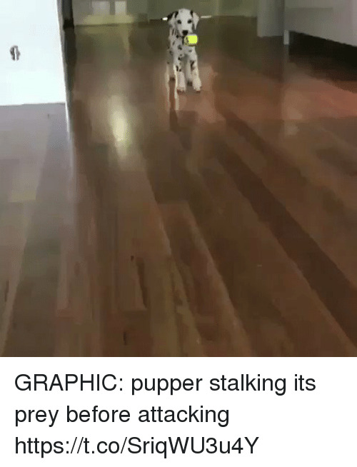 Stalking, Girl Memes, and Prey: GRAPHIC: pupper stalking its prey before attacking  https://t.co/SriqWU3u4Y