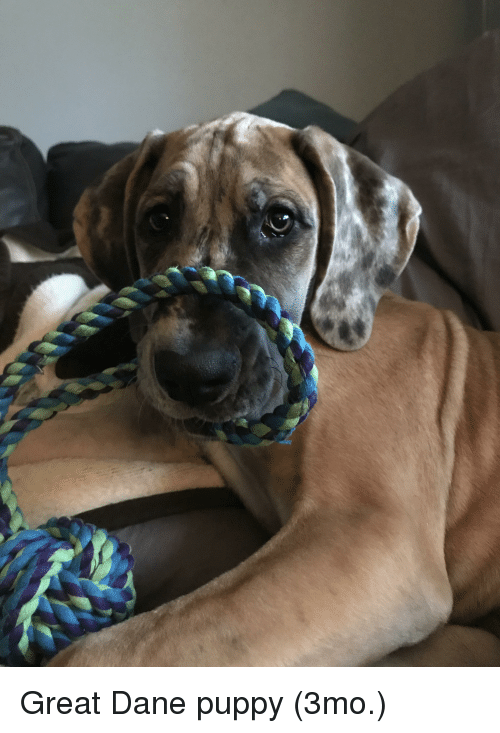 great dane puppy 3mo 29386680 puppy and puppy meme on me me