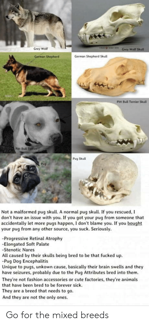 Animals, Cute, and Fashion: Grey Wolf  Wolf  German Shepherd  German Shepherd Skull  Pitt Bull Terrier Skull  Pitt Bull Terrier  Pug Skull  Not a malformed pug skull. A normal pug skull. If you rescued, I  don't have an issue with you. If you got your pug from someone that  accidentally let more pugs happen, I don't blame you. If you bought  your pug from any other source, you suck. Seriously.  -Progressive Retinal Atrophy  -Elongated Soft Palate  Stenotic Nares  All caused by their skulls being bred to be that fucked up  Pug Dog Encephalitis  Unique to pugs, unkown cause, basically their brain swells and they  have seizures, probably due to the Pug Attributes bred into them.  They're not fashion accessories or cute factories, they're animals  that have been bred to be forever sick.  They are a breed that needs to go.  And they are not the only ones Go for the mixed breeds