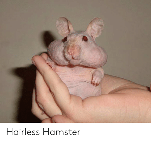 Hamster and Hairless: Hairless Hamster