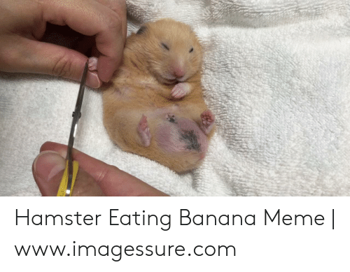 Hamster Eating Banana Meme Wwwimagessurecom Meme On Me Me