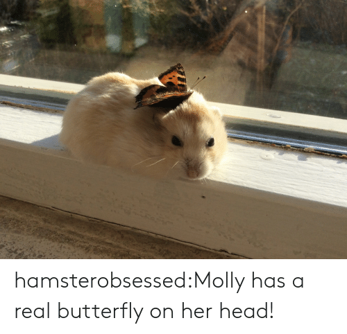 Head, Molly, and Tumblr: hamsterobsessed:Molly has a real butterfly on her head!