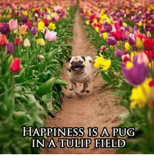 Happiness, Pug, and Tulip: HAPPINESS IS A PUG  IN A  TULIP FIELD