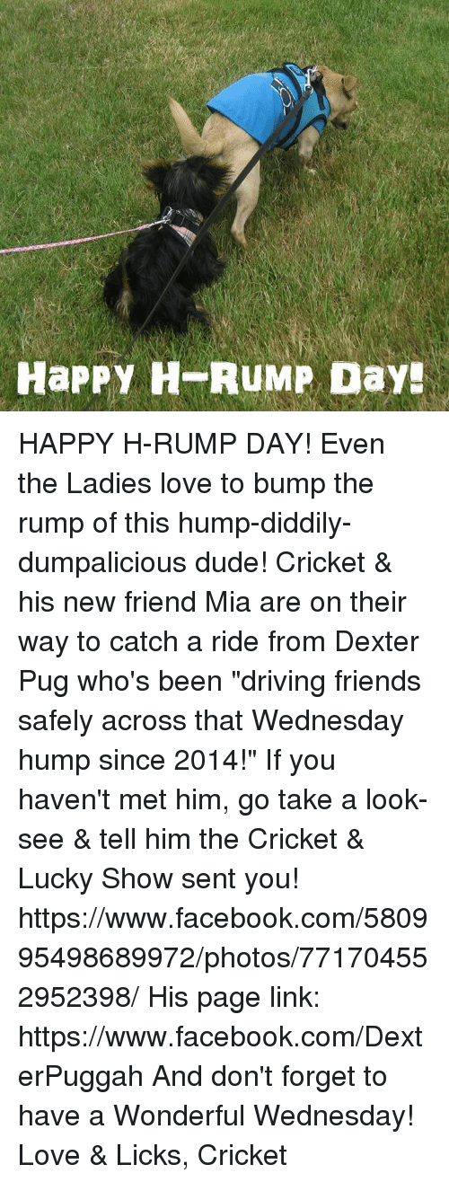 """Driving, Dude, and Facebook: HaPPY H RUMP Day HAPPY H-RUMP DAY!  Even the Ladies love to bump the rump of this hump-diddily-dumpalicious dude!  Cricket & his new friend Mia are on their way to catch a ride from Dexter Pug who's been """"driving friends safely across that Wednesday hump since 2014!""""  If you haven't met him, go take a look-see & tell him the Cricket & Lucky Show sent you!  https://www.facebook.com/580995498689972/photos/771704552952398/  His page link:  https://www.facebook.com/DexterPuggah And don't forget to have a Wonderful Wednesday!  Love & Licks, Cricket"""
