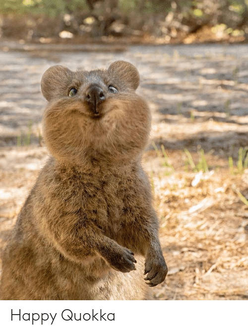 Happy Quokka | Happy Meme on ME.ME