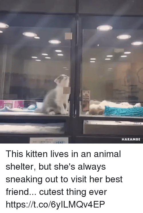 Best Friend, Animal, and Animal Shelter: HARAMBE This kitten lives in an animal shelter, but she's always sneaking out to visit her best friend... cutest thing ever https://t.co/6yILMQv4EP