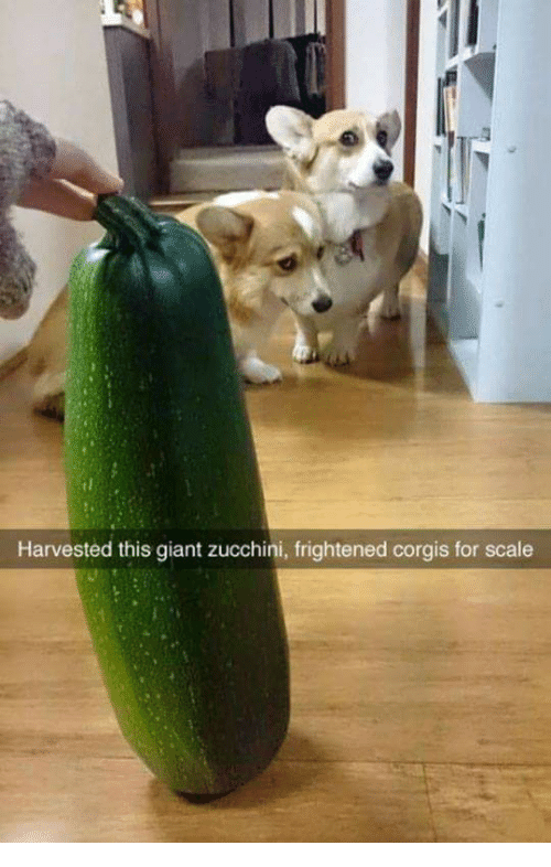 Giant, Zucchini, and Scale: Harvested this giant zucchini, frightened corgis for scale