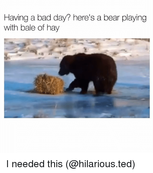 Bad, Bad Day, and Funny: Having a bad day? here's a bear playing  with bale of hay I needed this (@hilarious.ted)